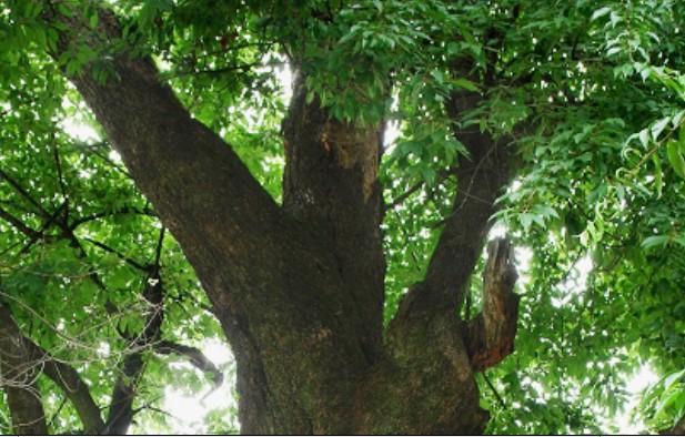 在东经11804055 ,北纬304260的地方生长着一株树龄在400年左右的尾叶樱,树高16米,胸围2.9米。此树在一著名的禅寺中,枝体强健,古朴威严,树势旺盛,冠幅平均11米,浓郁一片,为安徽省同树种中最大的一棵树。优美的树冠,苍健的树姿,与古刹交相掩映,暮霭沉沉,斜雨纷飞,树枝随风摇曳,使古刹景色倍增;据禅寺的僧众介绍,此树曾遭雷电侵袭,但依然卓然而立,顽强不息,任它火烧雷劈、风吹雨打,处若等闲,坎坷横斜皆在胸臆之间,绿颜依旧,自然而然成了人们公认的神树,名噪四方。  中文学