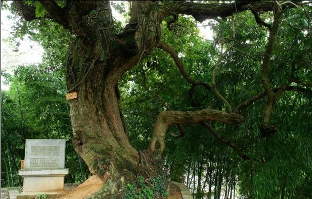 /enpproperty-->     这株苦槠树,树高16米,胸围4.6米,树冠平均20米,宛如一把巨伞保护着树下的墓地与村舍,村庄因此而得名槠树下。槠树苍劲突兀,虽遭雷击和火烧,但依然繁茂,尤显奇异。  槠树下居住的是胡氏三架的一支后裔,25世的元龙公,任登仕郎,他的墓就在这棵槠树下。这块墓地,是胡念五礼聘宋代著名风水先生赖文俊为胡氏族人相中的宝地之一。33世的万通公,也是一位精于堪舆的风水先生,他见元龙公墓旁槠树高大,所在地为小石门,且为来龙祖山,高耸尊严,山与水俱秀,人与地俱