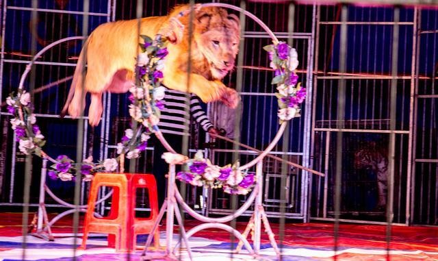 狮子表演。 中国宣城网讯 国庆期间,风景如画的敬亭山旅游度假区开放了一个特色旅游项目--敬亭山欢迎动物园,动物园内的珍稀动物和马戏表演,获得了我市市民及外地游客的一致好评。 在动物园内,游客们可以看到本地没有的稀有动物,羚羊、骆驼、狮子、老虎等珍稀动物令观赏性大大提高,不少小朋友没有见过这真实的动物,纷纷要求父母给自己和动物来张亲密合影。 要说精彩,肯定是马戏表演最吸引人,动物园在七天的假日里每天进行三场的马戏表演,当雄伟的狮子出场时,在场的父母不由地将孩子紧紧搂在了怀中,可在训兽